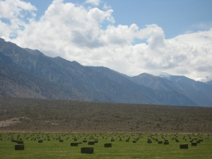 Fresh Baled Organic Alfalfa on the Montgomery Creek Ranch