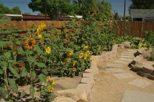 Our Sunflower Patch - Mammoth, Velvet Queen, and SunSpot Sunflowers, photo by Stephen Ingram