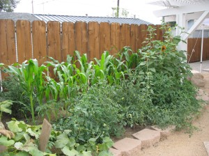 The jungle: tomatoes, corn, and sunflowers! Photo by Serena Dennis