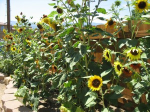 Jungle of Sunflowers in ESLT Garden.