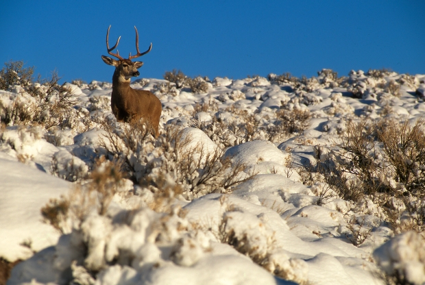 Deer_BuckinSnow_StephenIngram