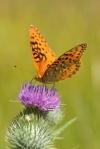 Apache Silverspot butterfly