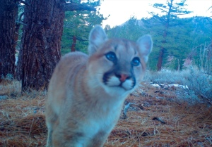 swall mtn lion (2)