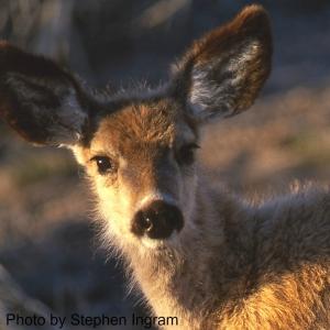 Deer_Fawn_crop_SI