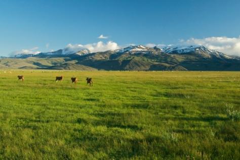 Cattle by Stephen Ingram