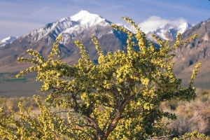 Bitterbrush is a key food source for the mule deer: they rely on its nutrients during the harsh winter months. Photo © Stephen Ingram.