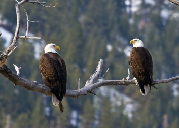 """Bald Eagles are often seen in the Carson Valley seasonally, but recently a pair of eagles nested there and raised fledglings. Jacques Etchegoyhen, a good friend of ESLT, says that it's the first pair in memory to do so, and that their story is, """"part of the picture the county is trying to protect."""""""