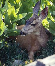 deer_Doe_SI