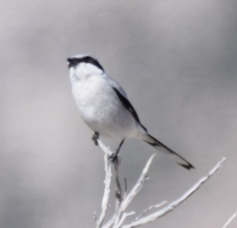 Recently seen at the Black Lake Preserve: a Loggerhead Shrike, a songbird that likes to spear its meal on barbed wire before dining.