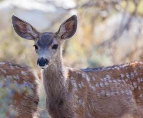 Mule Deer Fawn in the high desert of Bridgeport, California