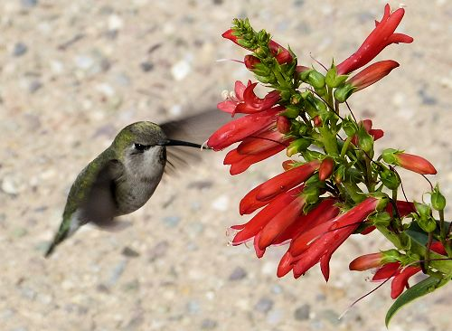 Hummingbird at penstemon blooms