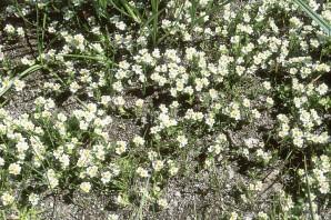 Parish's popcorn flower (Plagiobothrys parishii)
